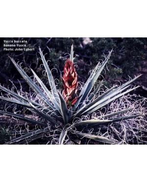 Yucca filimentosa